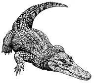 Crocodyl.jpg